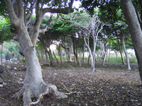 Trees at RICO (DI01294), Photo by Gordon Farguharson