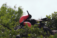 Frigate Bird at RICO (DI01313)