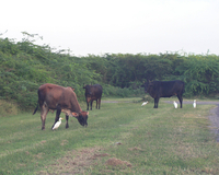 Cattle grazing during RICO (DI01328), Photo by Andrew Watt