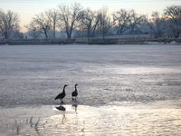 Canada geese standing on a frozen pond (DI01691)