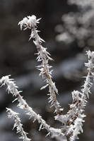 Frost on twigs (DI01735)