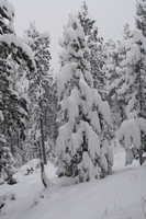 Lodgepole pines under a heavy snow (DI01859)