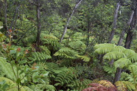 Hawaiian rain forest (DI02179) Photo by Carlye Calvin
