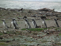 Magellanic penguins (DI02273) Photo by Andrew Watt