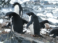 Adelie penguins (DI02282) Photo by Andrew Watt