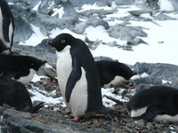 Adelie penguins (DI02283) Photo by Andrew Watt