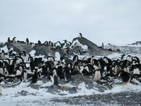 Adelie penguins (DI02284) Photo by Andrew Watt