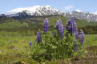 Lupins in Alaskan meadow (DI02517) Photo by Carlye Calvin