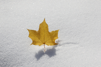 The last leaf standing? (DI02544) Photo by Carlye Calvin