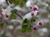 Crab apple buds on a snowy spring day  (DI02622)