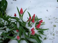 Tulips in snow (DI02625)