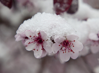 Snow on flowering plum blossoms (DI02626)
