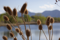 Wild teasel heads at Sawhill Ponds (DI02628)