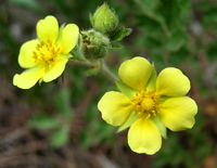 Wildflower: Cinquefoil (DI01485), Photo by Carlye Calvin