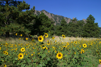 Sunflowers near the Mesa Lab (DI01567)