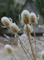Ice covered thistle (DI01569), Photo by Carlye Calvin