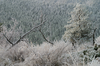 Frost on trees (DI01571), Photo by Carlye Calvin