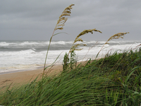 Sea oats (DI02051) Photo by Carlye Calvin
