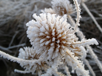 Thistle head with frost (DI02397)