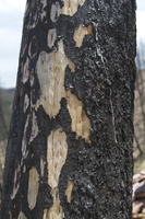 Charred tree trunk (DI02500)