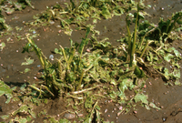 Hail damage to beet field (DI00341)