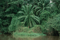Palm forest on the Sangha River, Congo (DI00754), Photo by Lee Klinger