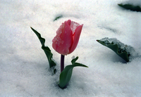Tulip in spring snow (DI00800)